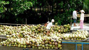 Xuất khẩu dừa tươi